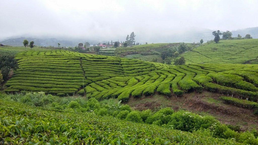 kebun teh alahan panjang